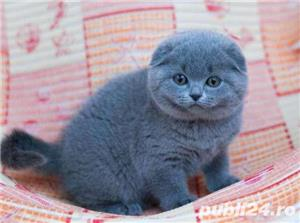 pui pisicsa scottish fold - imagine 2