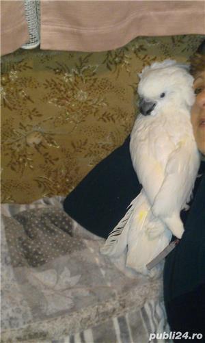 Papagali Kakadu - imagine 10