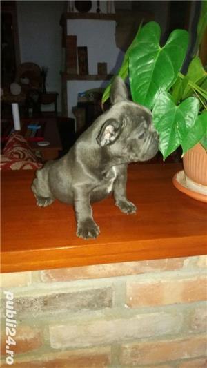 Bulldog francez blue,merle, fata sau baiat - imagine 1