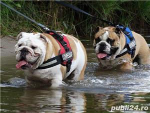 Cumpar/adopt bulldog englez femela 1 - 3 ani   - imagine 3