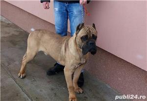 Mascul Cane Corso Fawn Pentru Monta - imagine 2