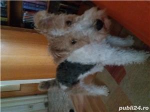 Imperechere mascul wire fox terrier - imagine 1