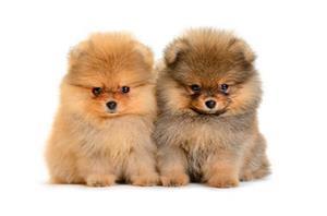 Catei Pomeranian talie mica- rasa pura- vaccinati- cu sau fara pasaport- livrare la Baia Mare - imagine 2