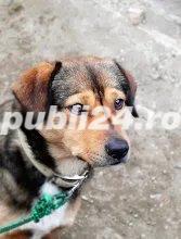 Rexut pentru adoptie - imagine 1