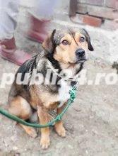 Rexut pentru adoptie - imagine 3