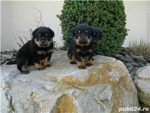 catei rottweiler cu pedigree  - imagine 8