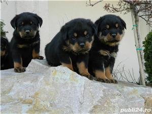 catei rottweiler cu pedigree  - imagine 7