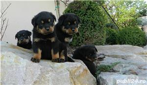 catei rottweiler cu pedigree  - imagine 3