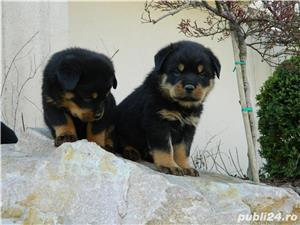 catei rottweiler cu pedigree  - imagine 1