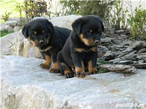 catei rottweiler cu pedigree  - imagine 6