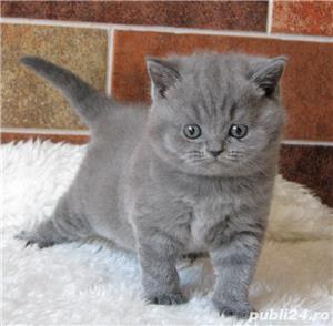Puiuți British shorthair - imagine 1