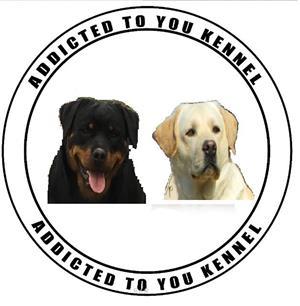 pui rottweiler cu pedigree calitate de show - imagine 6