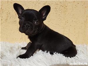 Bulldog francez mascul negru  - imagine 3