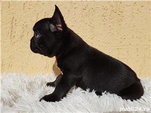 Bulldog francez mascul negru  - imagine 2