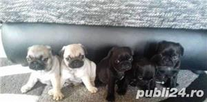 Mops/pug bej si negri!! - imagine 1