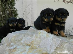 catei rottweiler talie mare cu pedigree - imagine 1