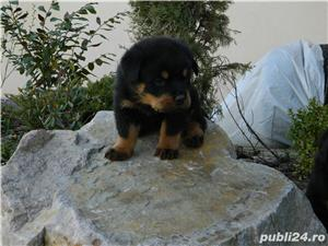 catei rottweiler talie mare cu pedigree - imagine 7