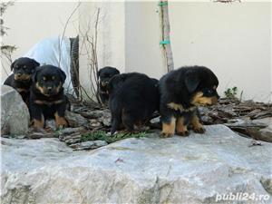 catei rottweiler talie mare cu pedigree - imagine 9