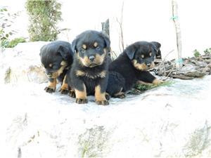 catei rottweiler talie mare cu pedigree - imagine 3