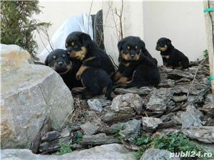 catei rottweiler talie mare cu pedigree - imagine 5