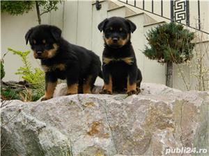 catei rottweiler talie mare cu pedigree - imagine 10