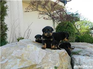 pui rottweiler cu pedigree - imagine 6