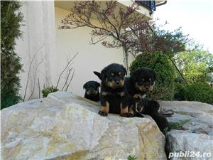 pui rottweiler cu pedigree - imagine 7