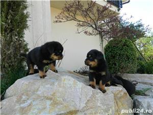pui rottweiler cu pedigree - imagine 8
