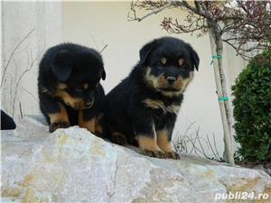 pui rottweiler cu pedigree - imagine 3