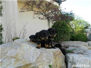 pui rottweiler cu pedigree - imagine 9