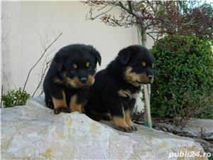 pui rottweiler cu pedigree - imagine 1
