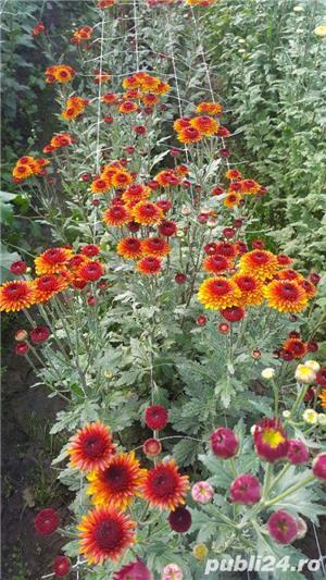 Butasi crizanteme - imagine 2