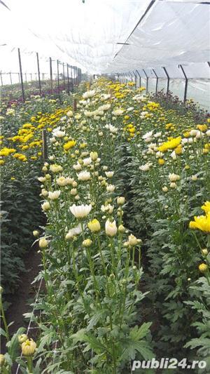 Butasi crizanteme - imagine 3