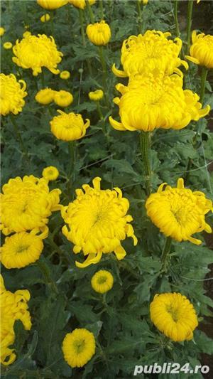 Butasi crizanteme - imagine 4