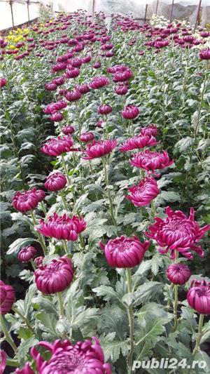 Butasi crizanteme - imagine 7