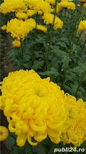 Butasi crizanteme - imagine 8