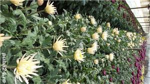 Butasi crizanteme - imagine 5