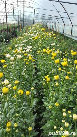 Butasi crizanteme - imagine 10