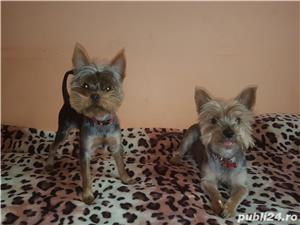 Yorkshire Terrier Monta - imagine 7