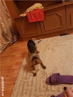 Yorkshire Terrier Monta - imagine 6