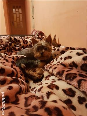 Yorkshire Terrier Monta - imagine 4