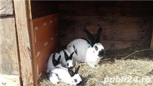 Vand pui iepuri fluture german! - imagine 4