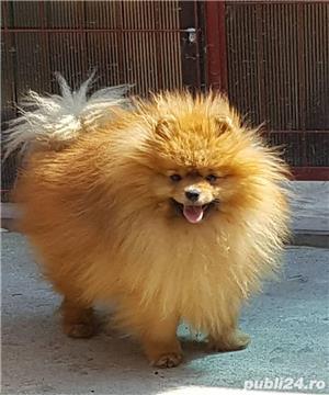 Pomeranian pentru monta - imagine 1