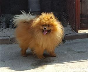 Pomeranian pentru monta - imagine 2