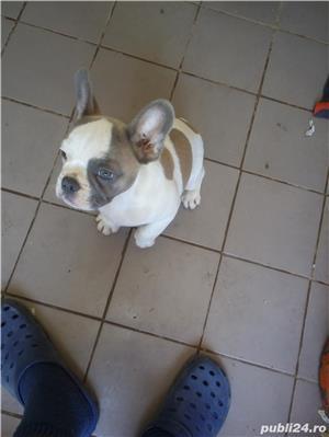 vand pui bulldog francez - imagine 2