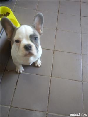 vand pui bulldog francez - imagine 1