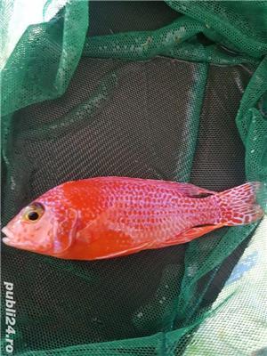 Pui Aulonocara firefish red dragon - imagine 2