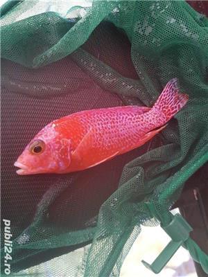 Pui Aulonocara firefish red dragon - imagine 1