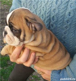 Bulldog englez pui de vanzare - imagine 6