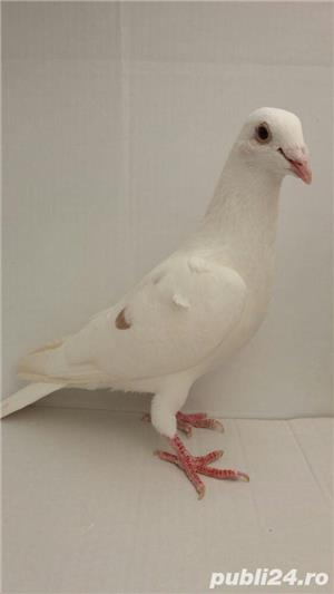 Porumbei voiajori - imagine 2
